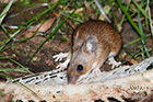 Yellow-necked mouse Apodemus flavicollis