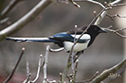 Black-billed magpie Pica pica