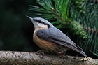 Wood nuthatch Sitta europaea