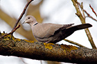 Eurasian collared dove Streptopelia decaocto