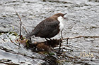 White-throated dipper Cinclus cinclus