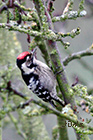 Lesser spotted woodpecker Dendrocopos minor