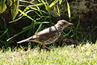 Song trush Turdus philomelos