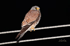 Common kestrel Falco tinnunculus