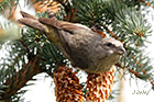 red crossbill Loxia curvirostra