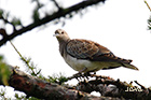 European turtle dove Streptopelia turtur