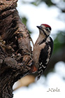 Great spotted woodpecker Dendrocopos major