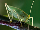 Oak bush-cricket Meconema thalassinum