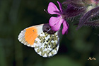 Orange tip Anthocharis cardamines