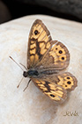 Wall brown Lasiommata megera