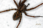 Charcoal spider Tegenaria ferruginea
