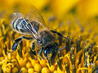 European honey bee Apis mellifera