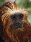 Golden-headed lion tamarin Leontopithecus chrysomelas