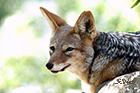Black-backed jackal Canis mesomelas