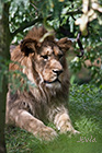 Barbary lion Panthera leo leo