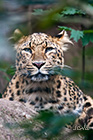 North-Chinese leopard Panthera pardus japonica