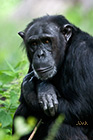 Common chimpanzee Pan troglodytes