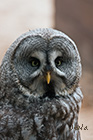 Great grey owl Strix nebulosa